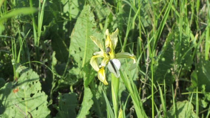 Белая бабочка с черными полосками (Волгоградская область)