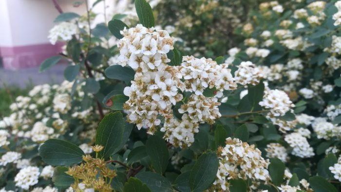 Как цветет спирея (Волгоградская область)