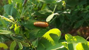 Гусеница бабочки поликсены