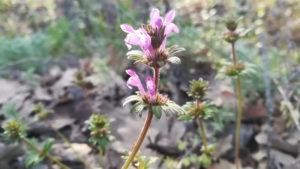 Яснотка стеблеобъемлющая - сорняк с розовыми цветками